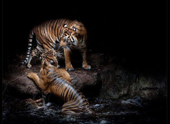 Animaux - Tigres - Félins - Couple - Photographie - Wallpaper - Free