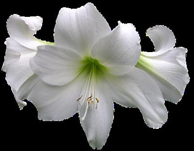 Fleurs - Render-Tube - Gratuit
