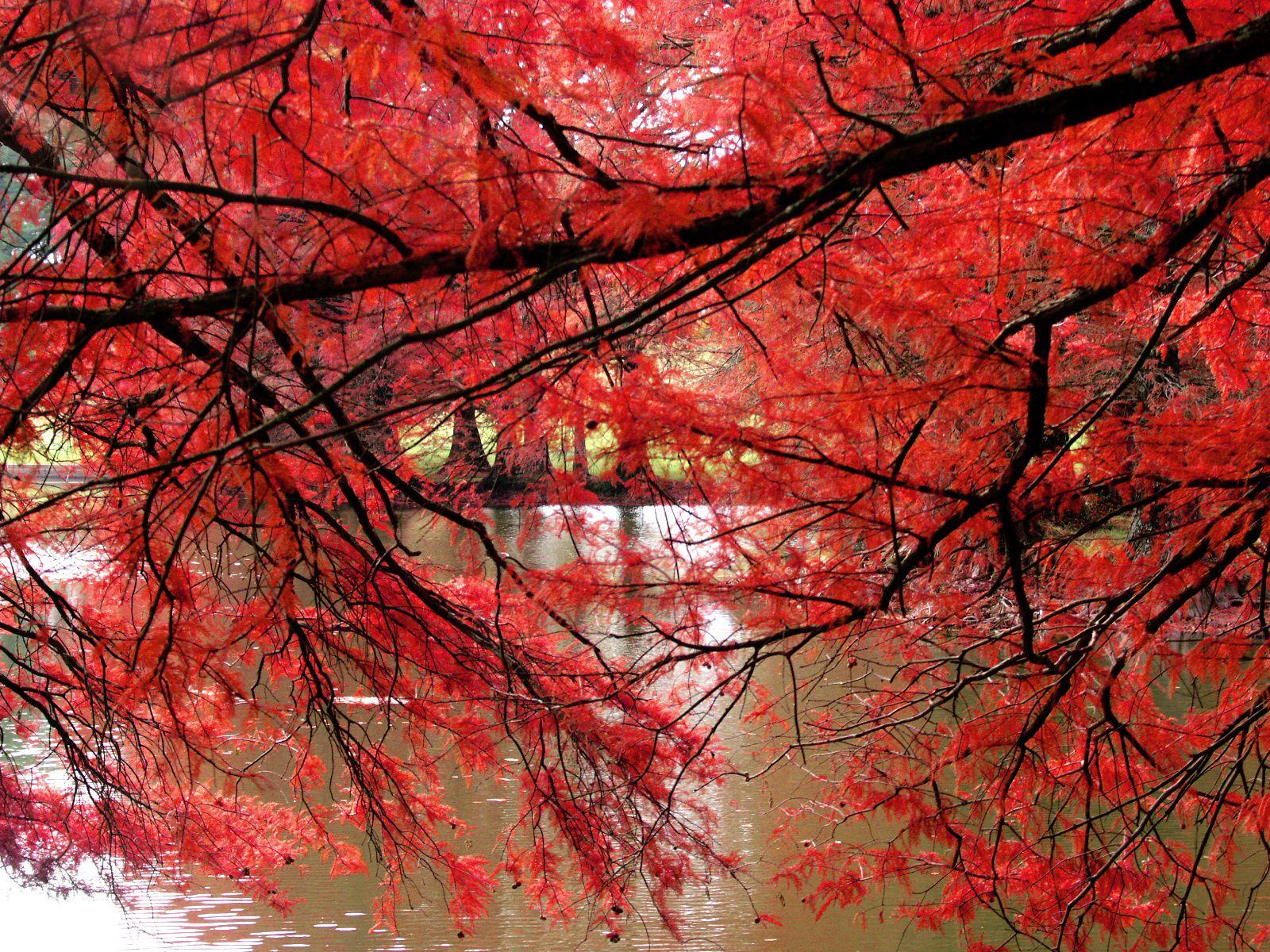 arbres - feuilles - rouge - automne - wallpaper - free - le blog de