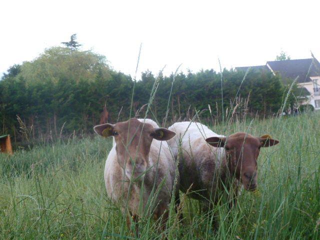 Les moutons écopâturent chemin des Grandes noues fontaine