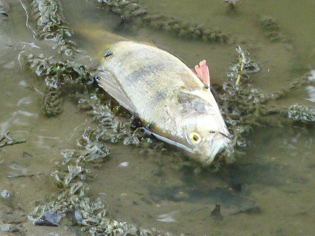 Des poissons meurent dans un canal à l'agonie