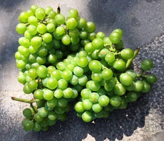 """""""Echantillons"""" - Tombés de la vigne ce mercredi pendant le travail d'entretien !"""