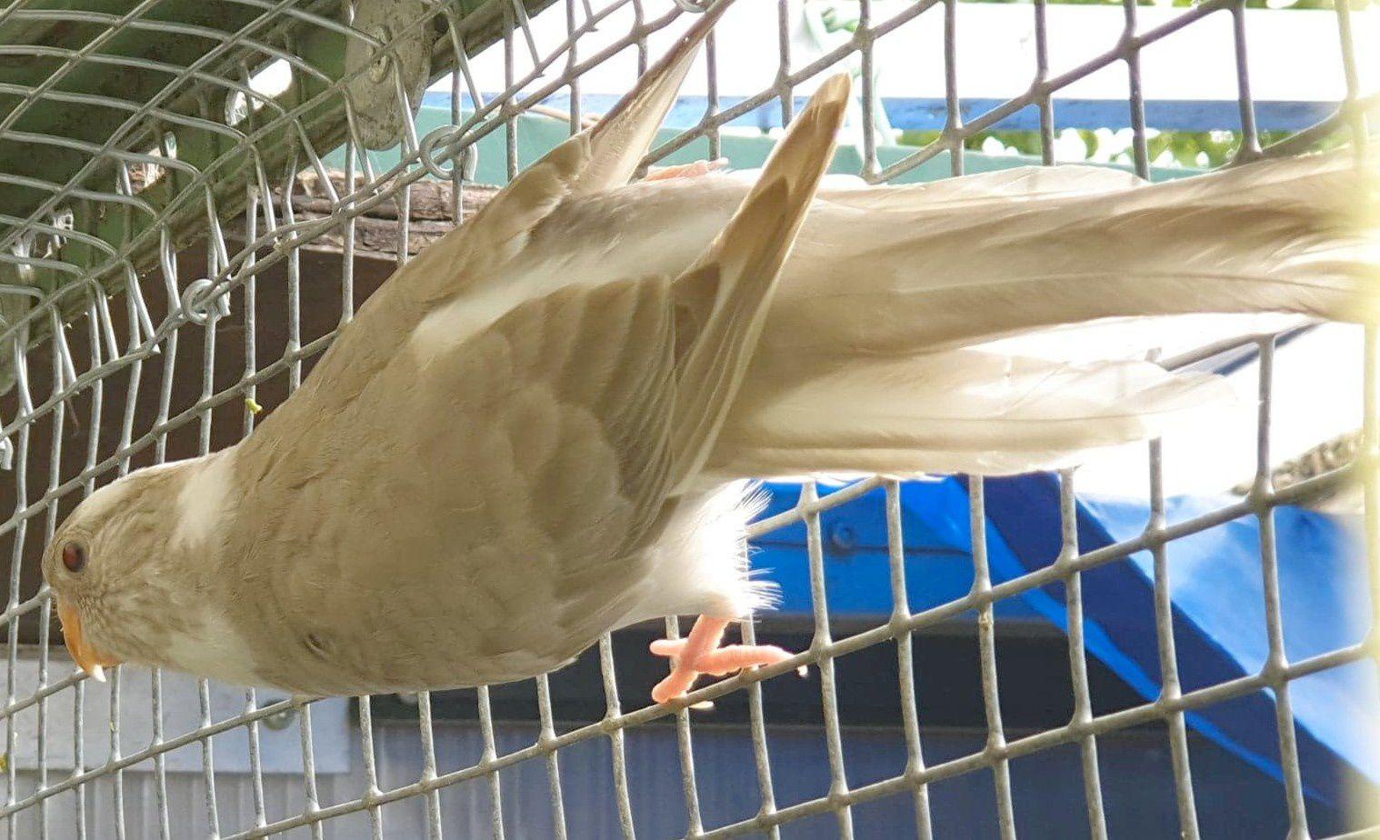 Psittacoms jeune croupion en gris-cinnamon-panaché de 2019