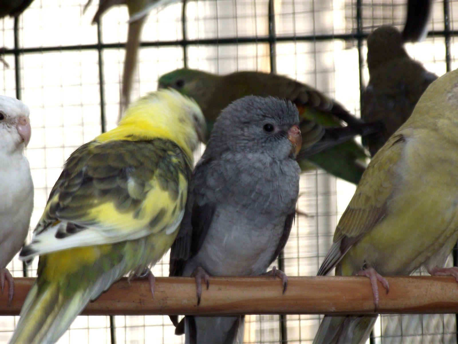 Jeunes croupions en Gris-vert et combinaison