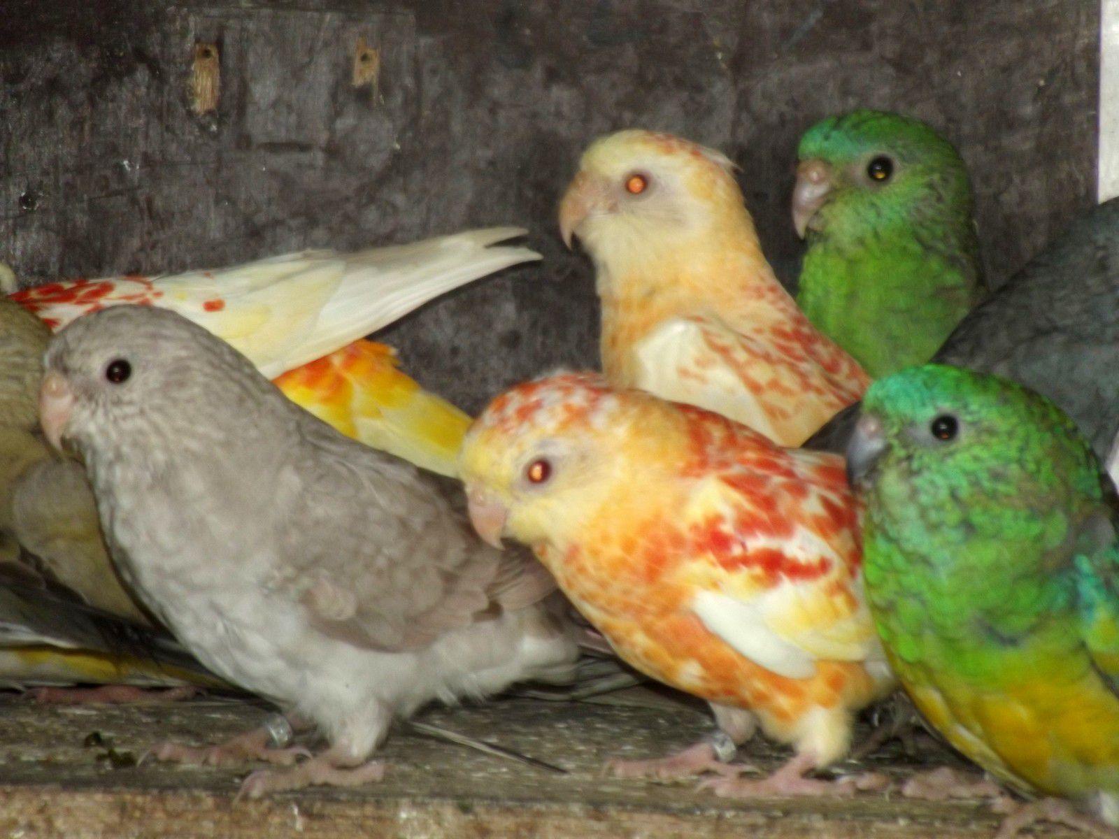 Divers mutations en jeunes Perruches à Croupion rouge