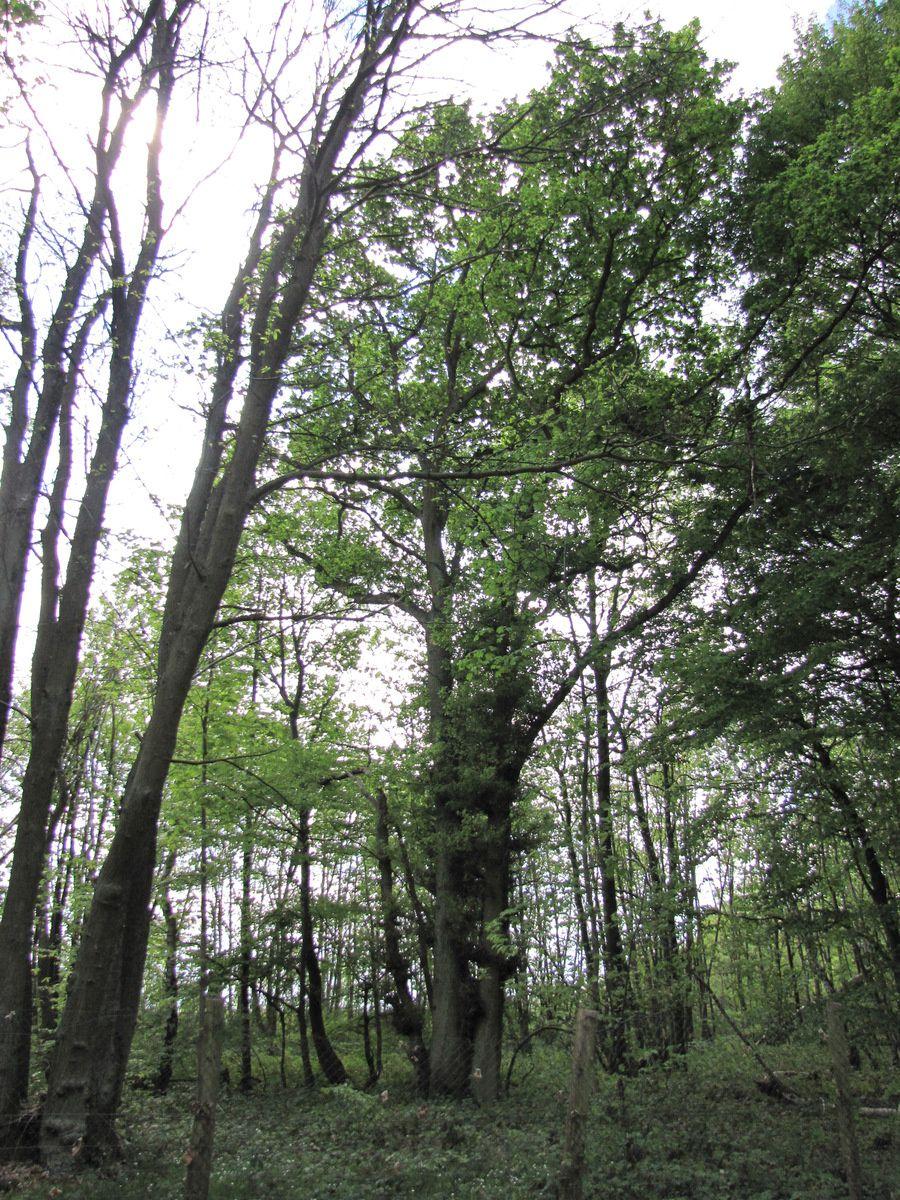 Parc de Marly, troncs multiples