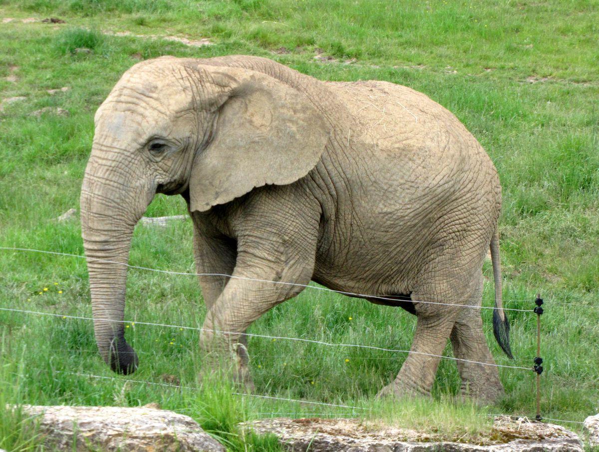 Zooparc de Beauval, éléphant de savane