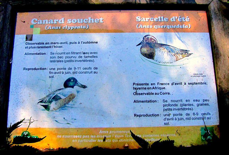 Canards de l'étang du Corra, forêt de Saint-Germain-en-Laye