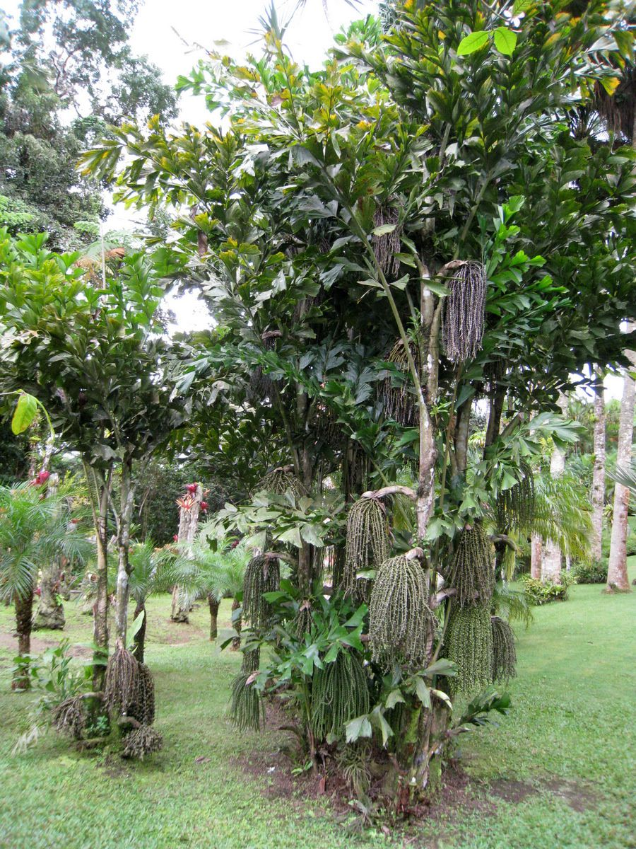 Calliandra et caryota mitis (palmier céleri), jardin de Balata