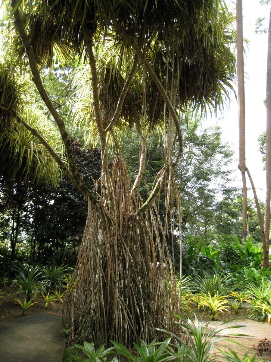 Oiseau de paradis (Strelitzia reginae) et pandanus, jardin de Balata