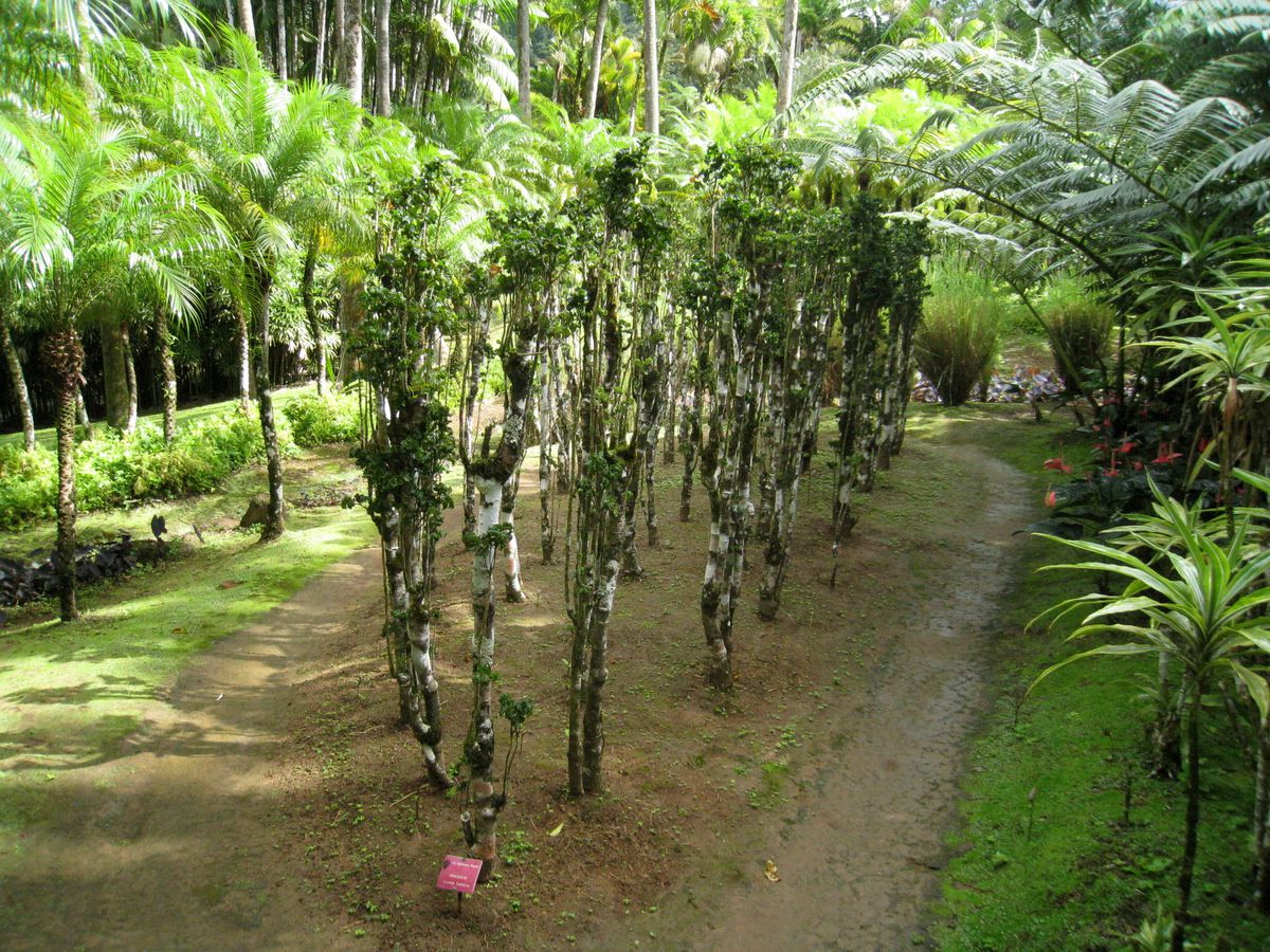 Araliaceae et Reine de Malaisie, jardin de balata
