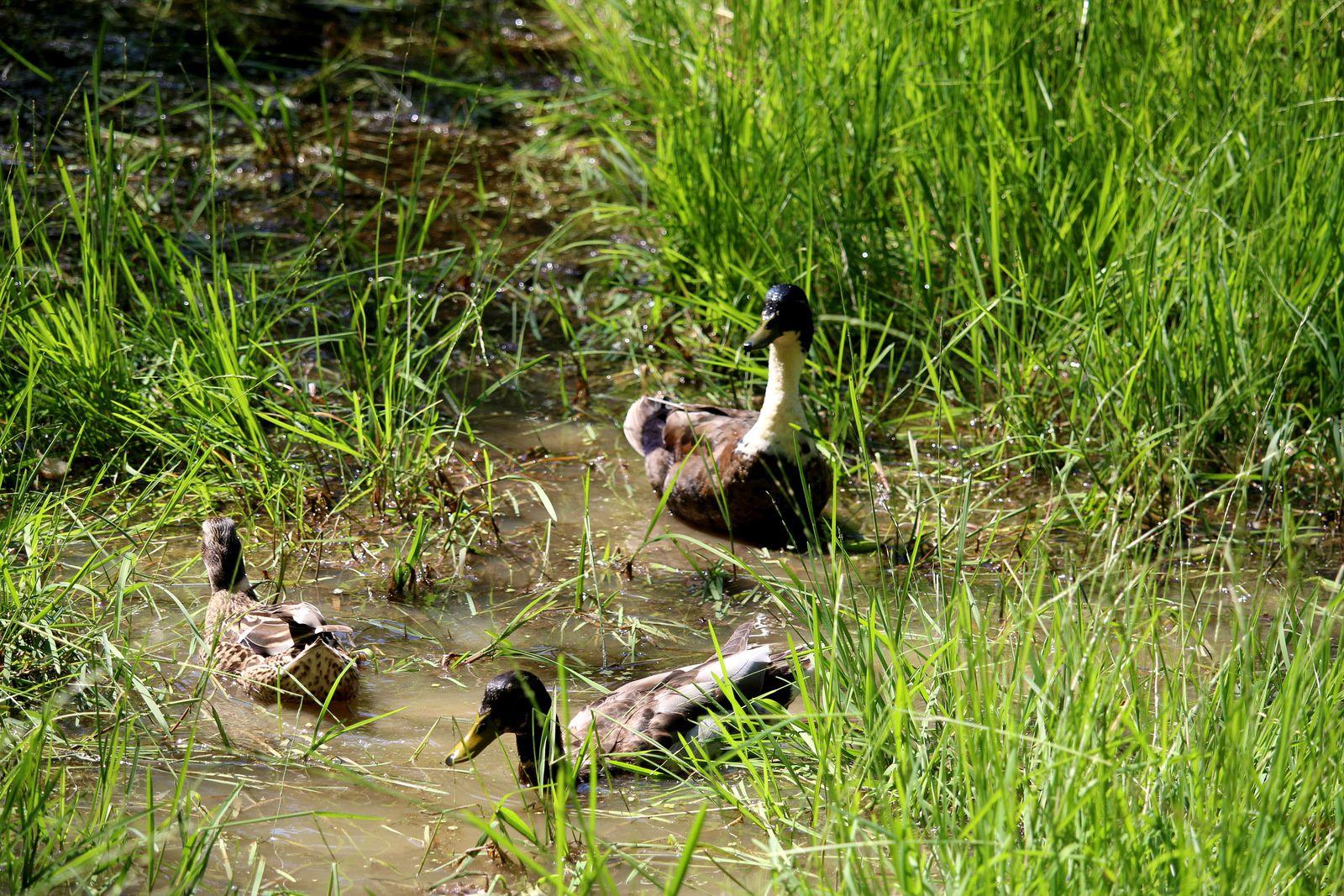 Canards en forêt de Saint-Germain-en-Laye (juin 2015)