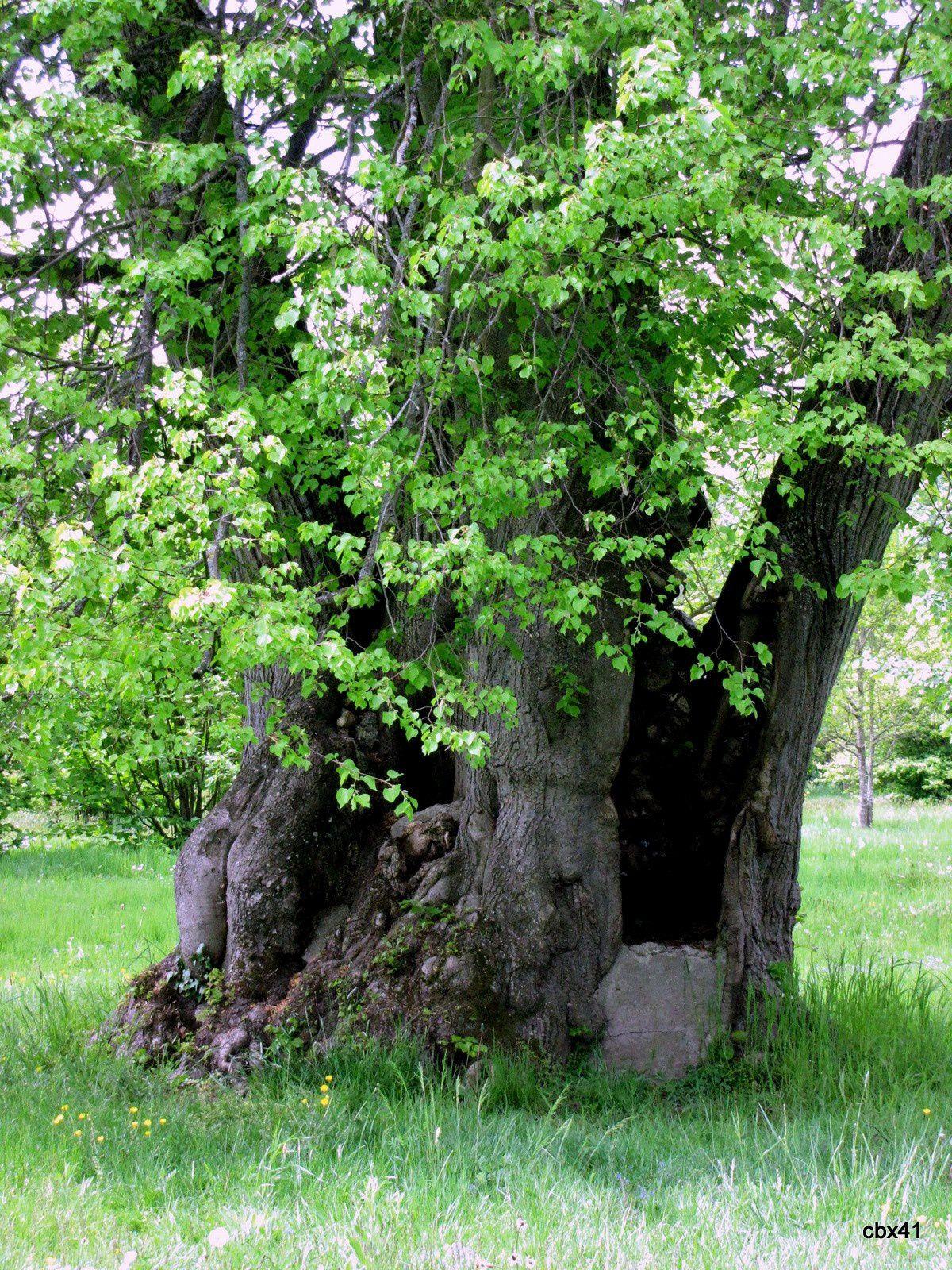 Arbres et fleurs du jardin du petit trianon le blog de for Les arbres du jardin