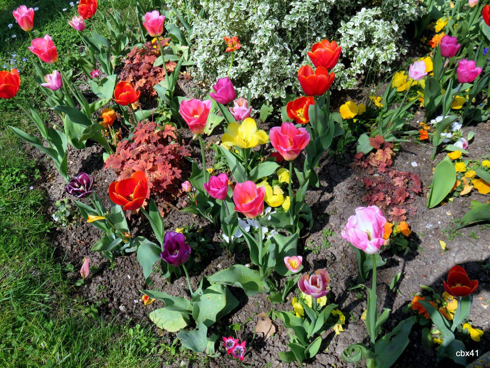 Les tulipes de ma résidence