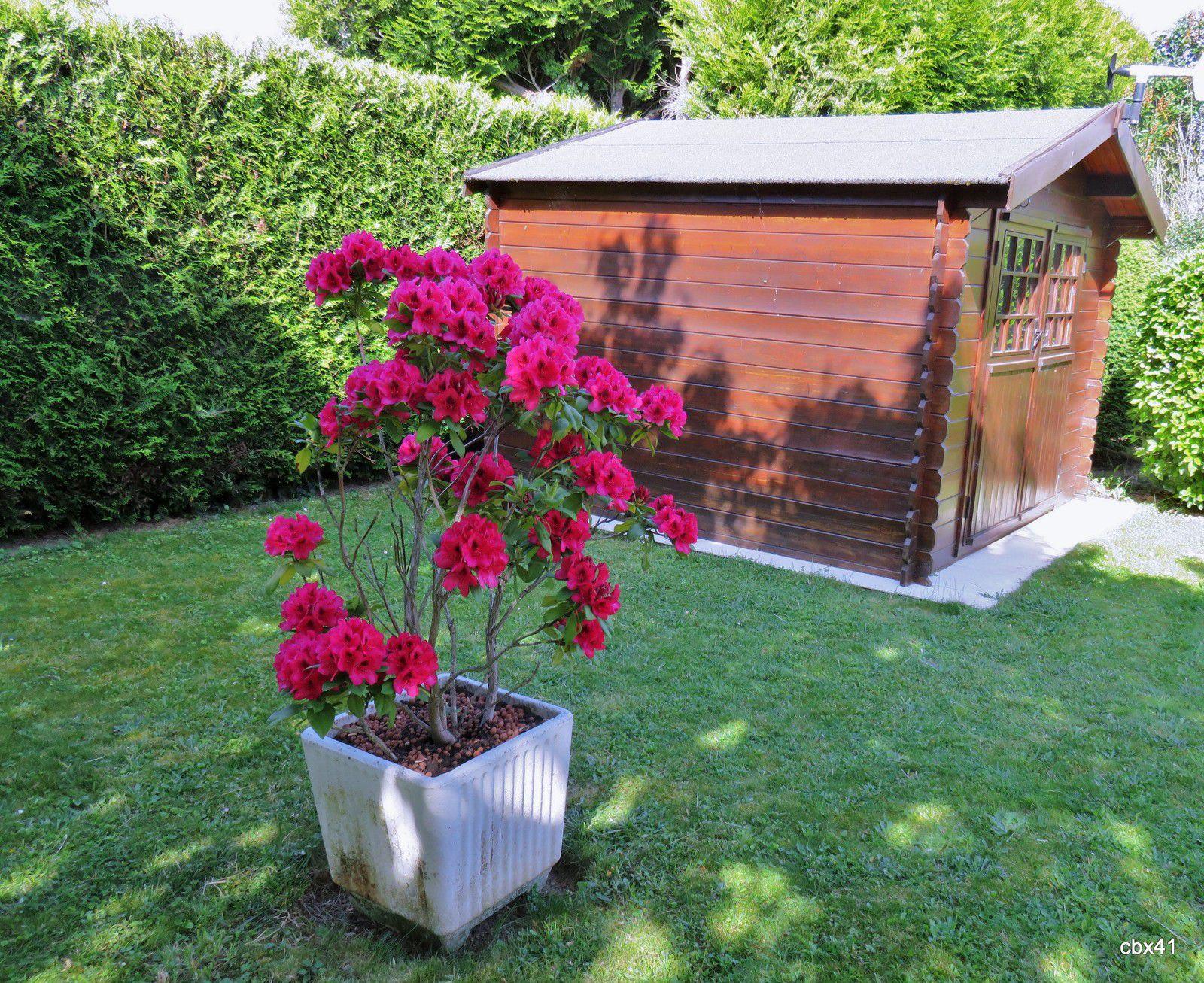 Rhododendron en fleurs, Juin 2020