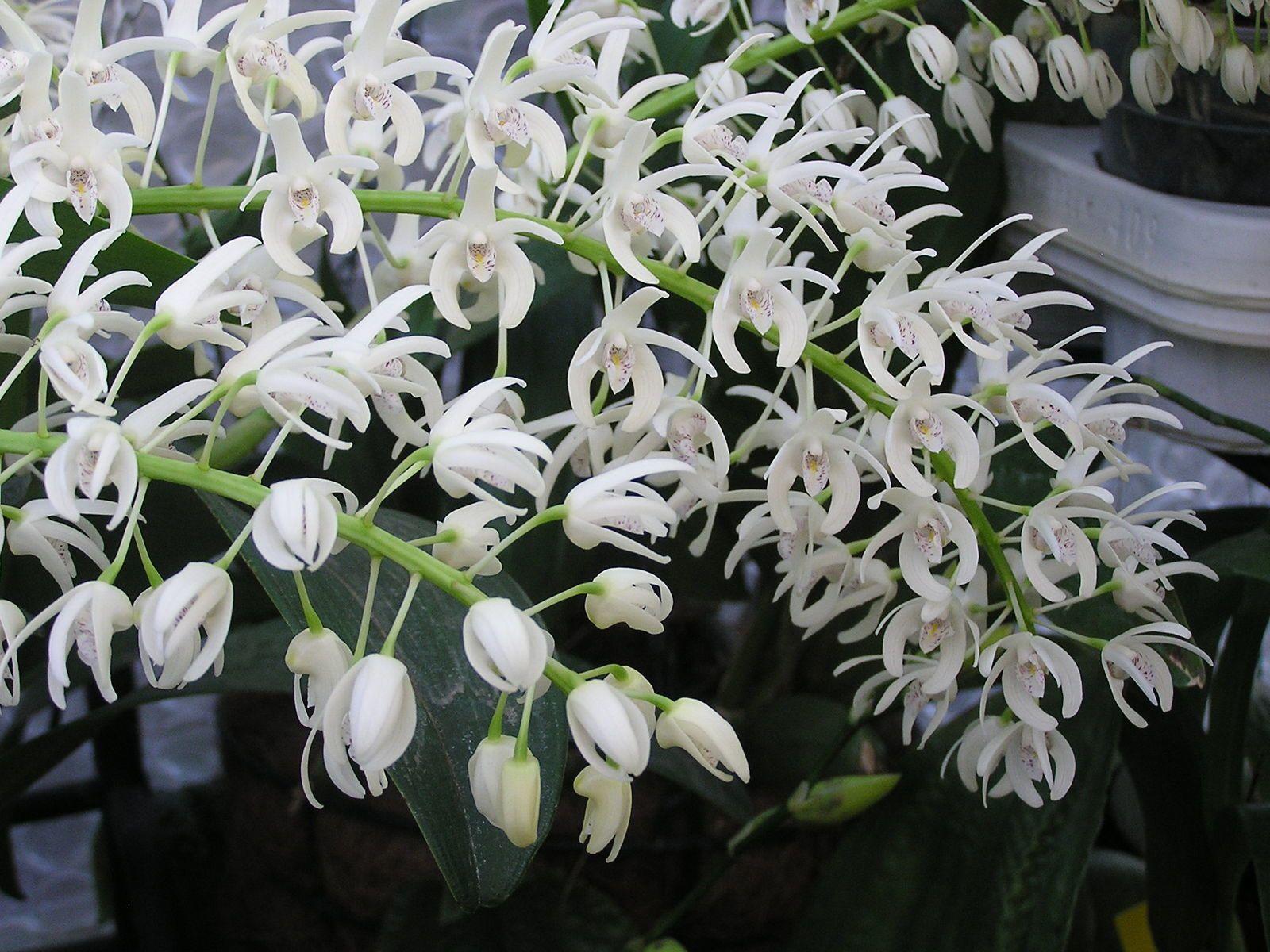 Dendrobium ruppianum  ne court pas les rues pas facile à trouvé celui-ci je l'ai déniché à Exofleur