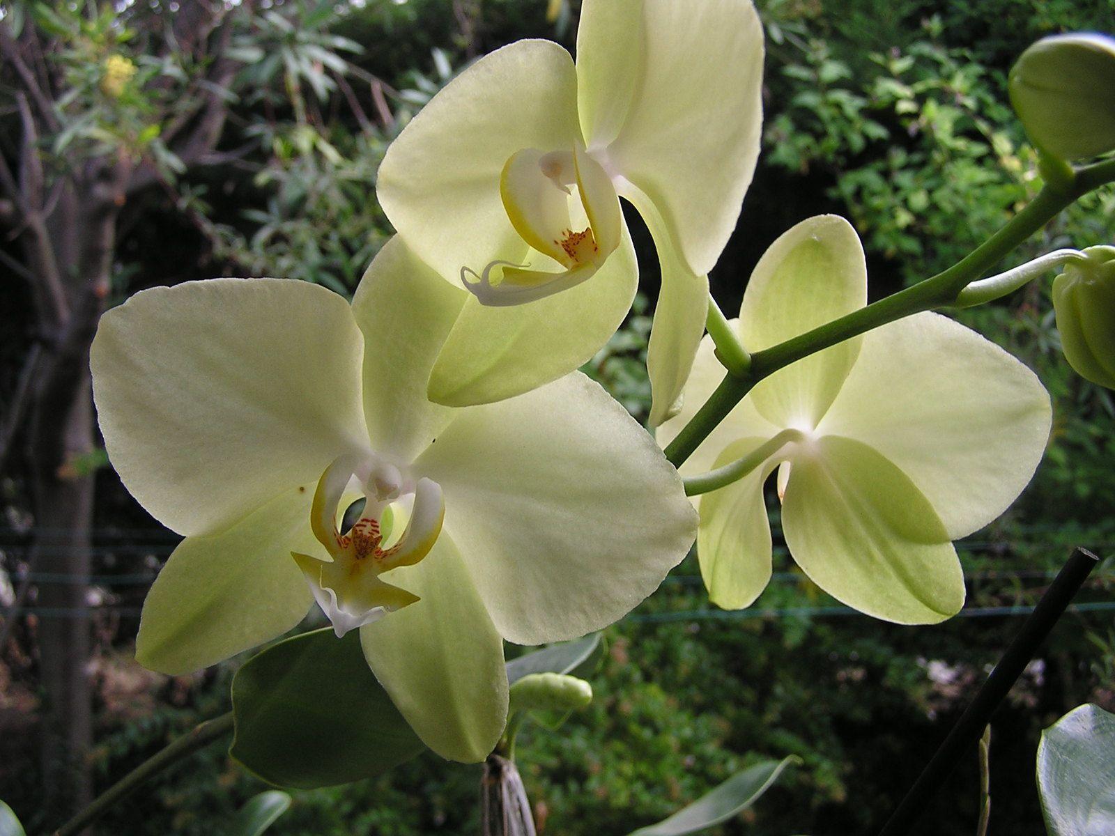 Eflorescence 2017 : Phalaenopsis hybride