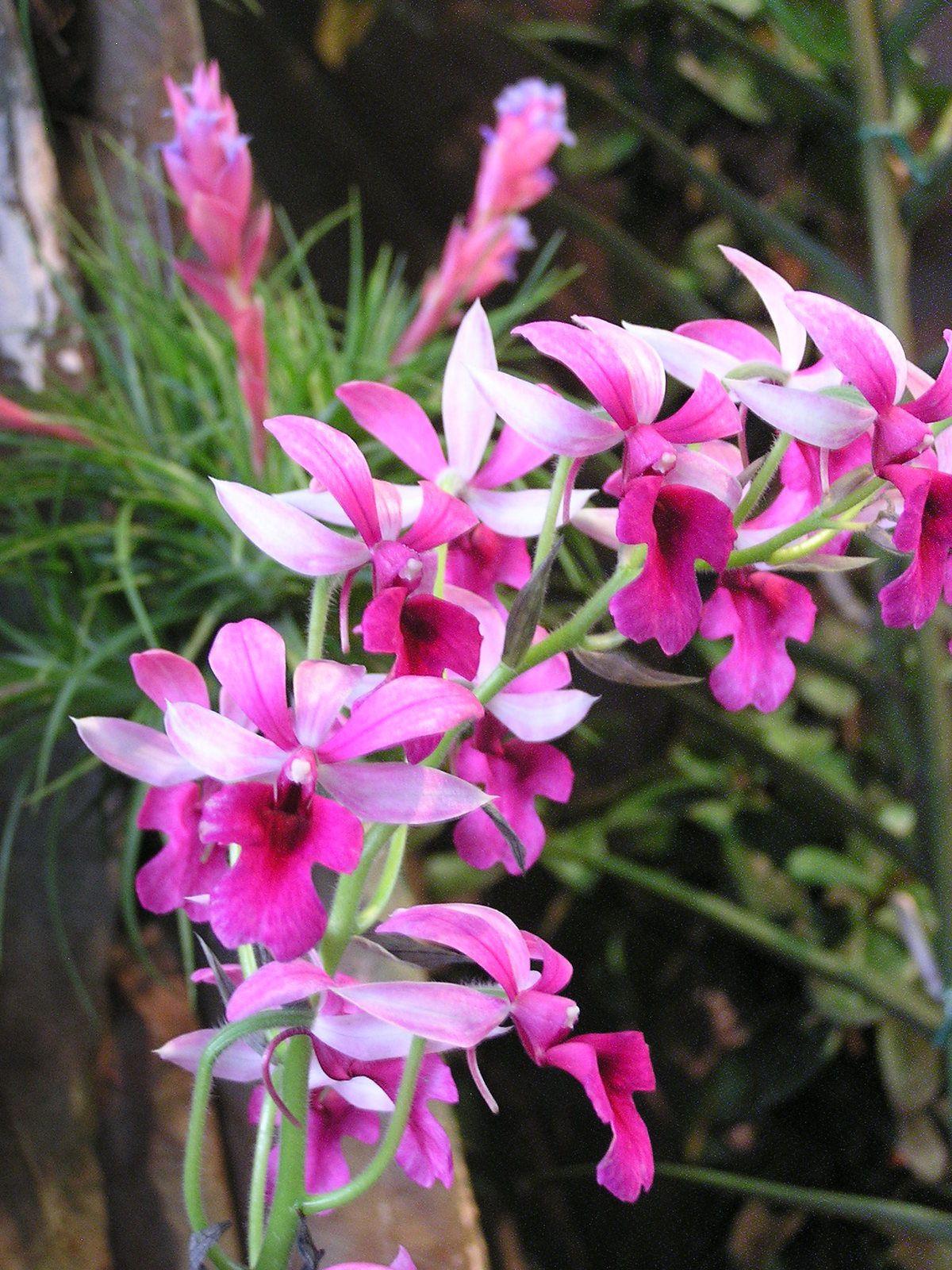Calanthe rosea est une espèce caduque, les inflorescences de 50cm environ apparaissent en automne et en hiver