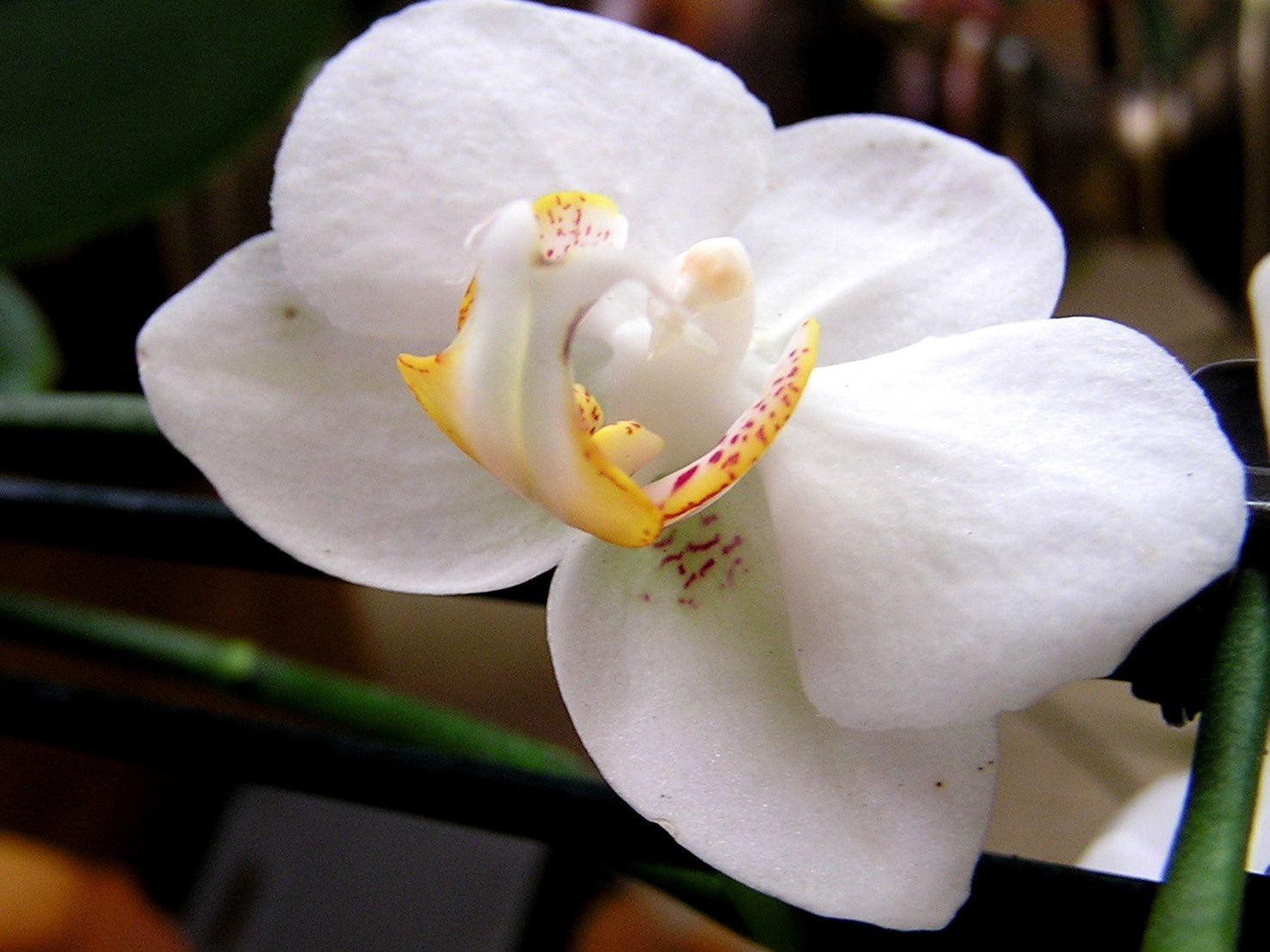 Album - les orchidées de Daphnies de A -à - Z