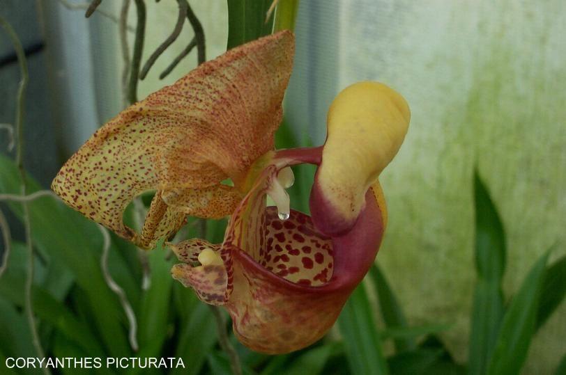 orchidee qui colle que faire