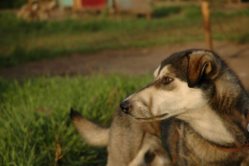 Bandit, chien d'équipe ou de barre. Bandit, team or wheel dog.