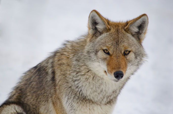 Animal Totem : Le Coyote