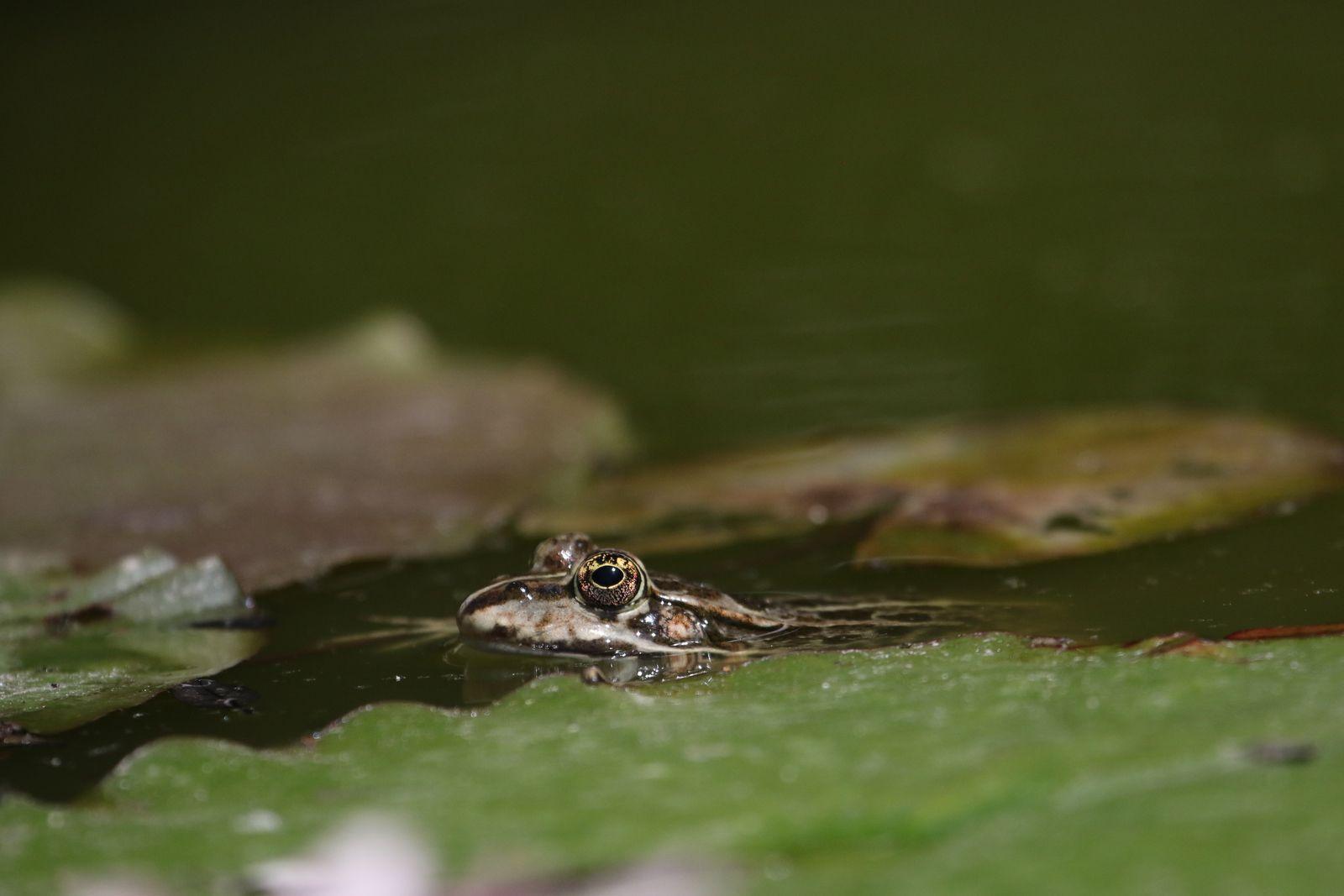 la grenouille verte d Europe