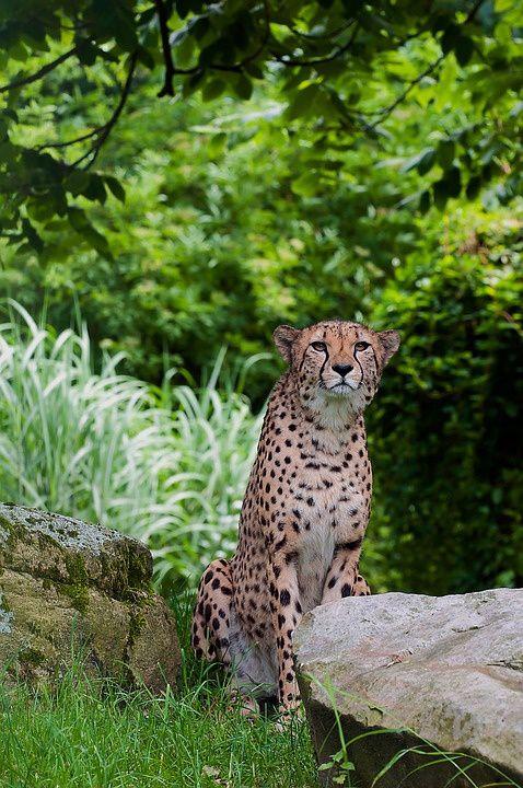 Et si le guépard finissait par disparaître ?