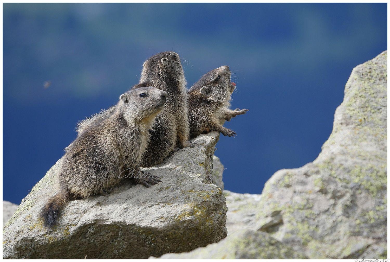 marmottes fin