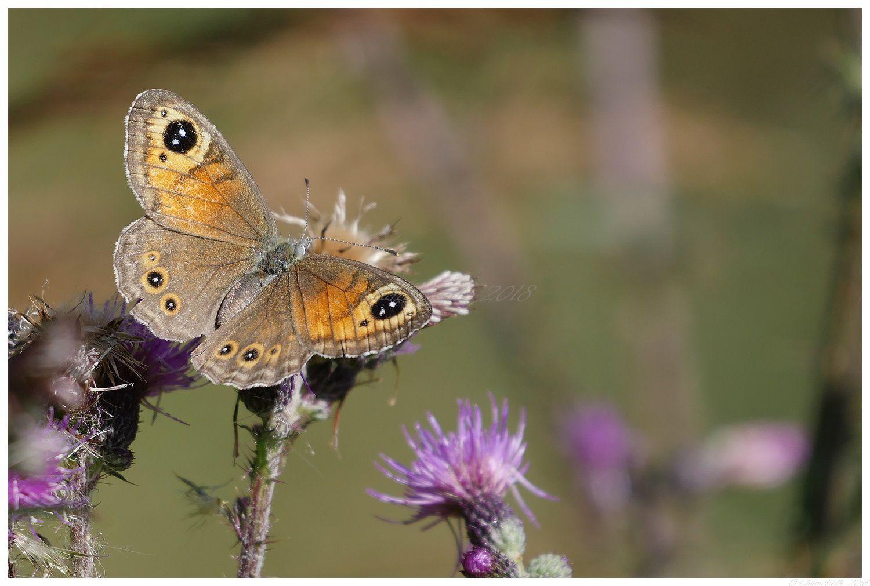 petit passage à l'étang et papillons
