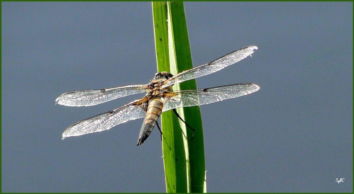 Quelques libellules au bord d'étangs...