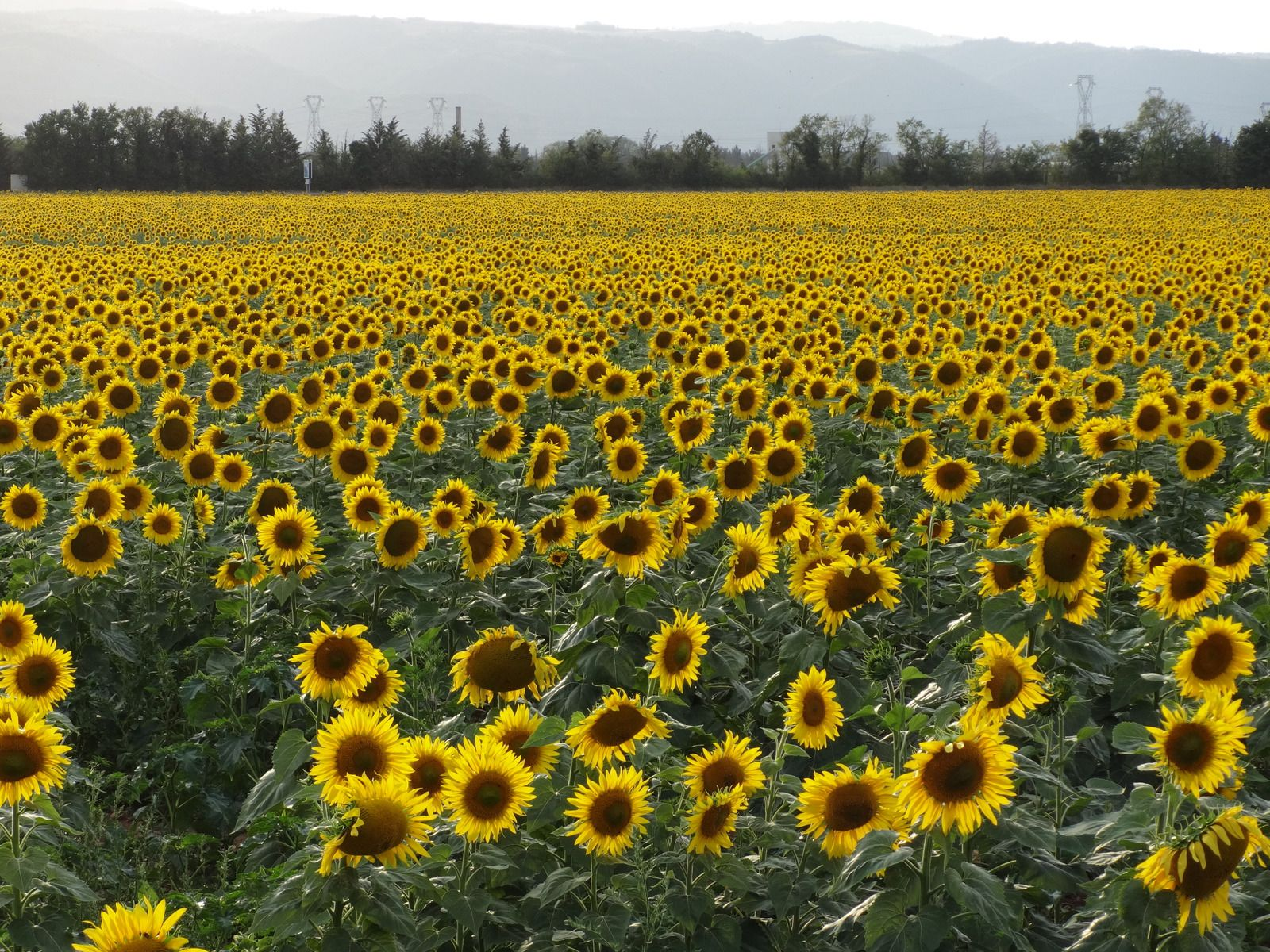 24 heures photo : Le tournesol...