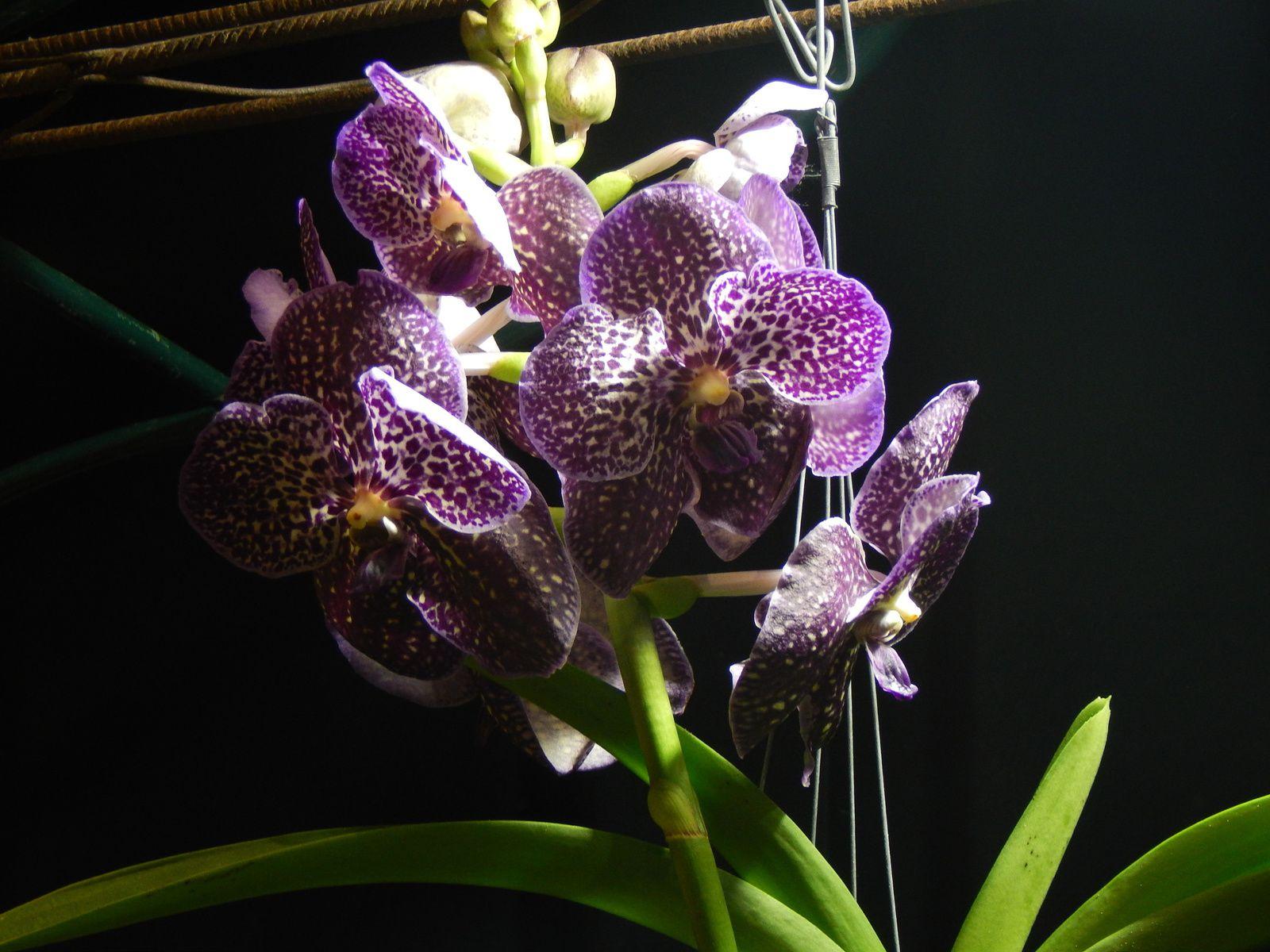 Ma visite au 9ème salon des orchidées à Feytiat