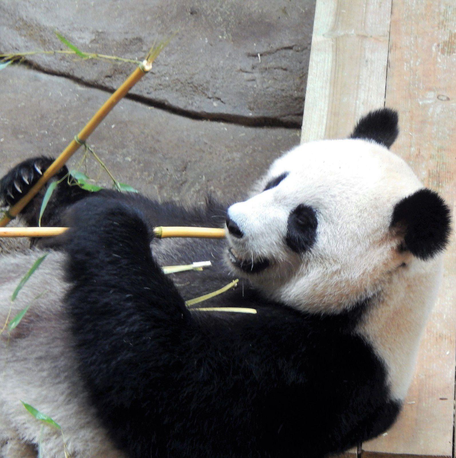 Papa panda Yuan Zi en extérieur dans son arbre - bébé panda Yuan Meng - Maman panda Huan Huan - 24 avril 2018