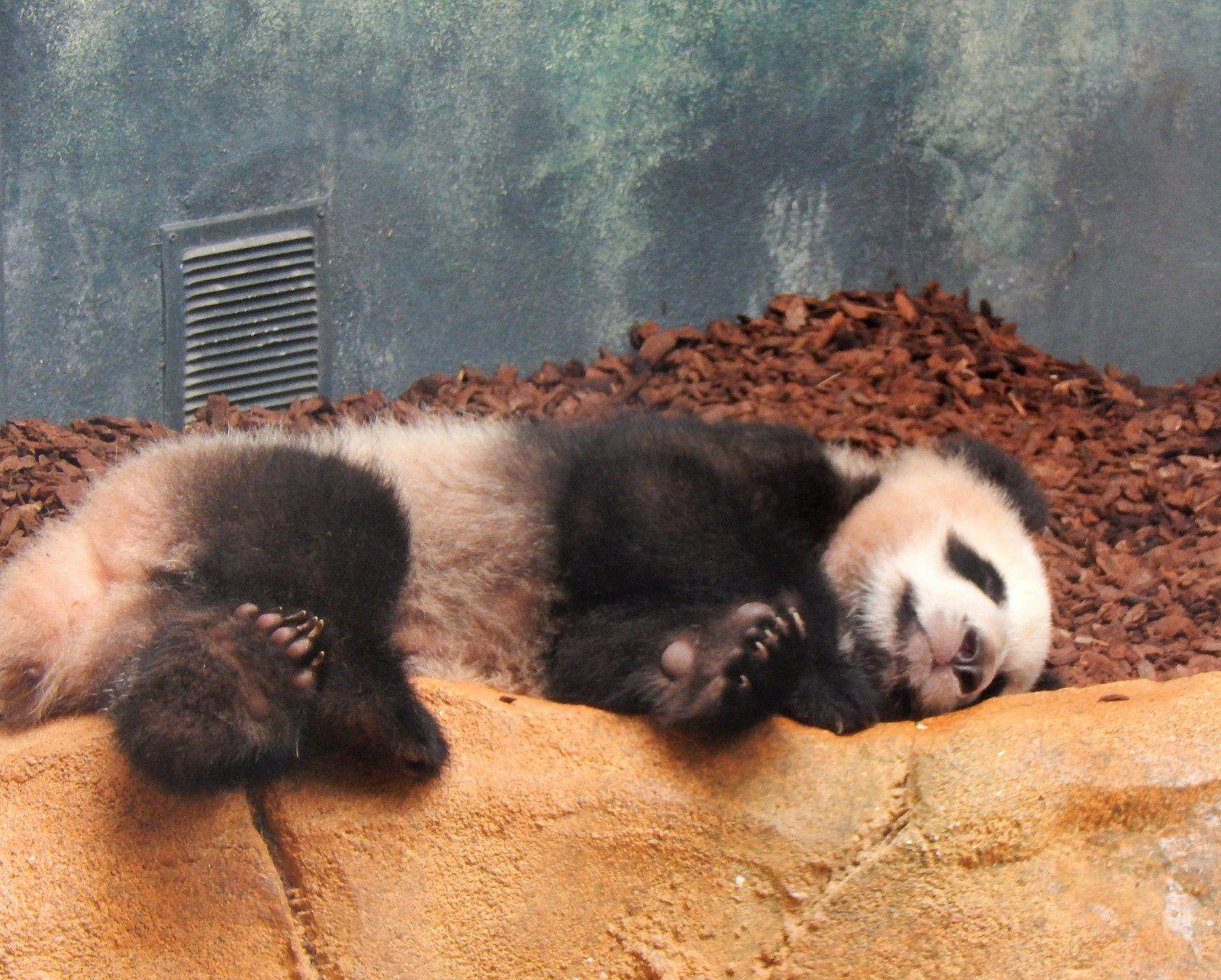 Sieste de bébé panda Yuan Meng