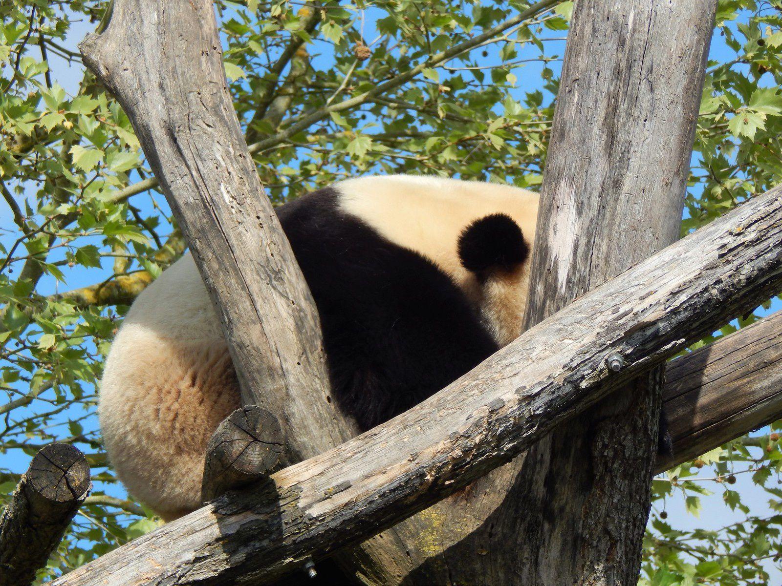 Papa panda Yuan Zi en pleine sieste