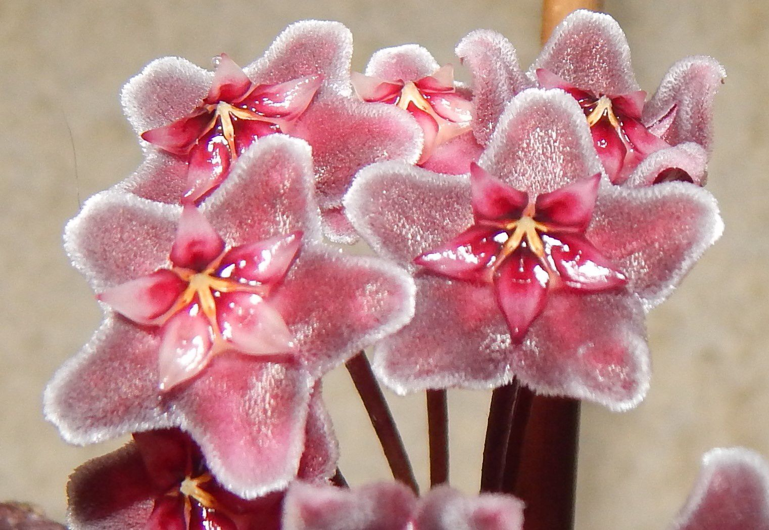 Hoya pubicalyx 'Royal Hawaïan Purple'
