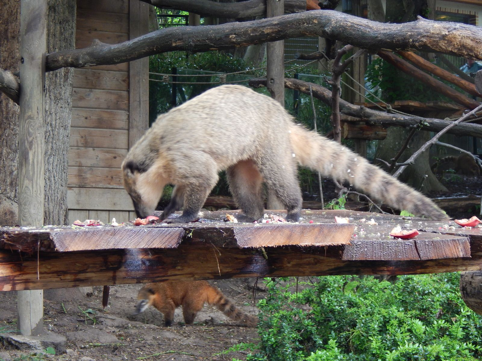 Coati roux ou à queue annelée