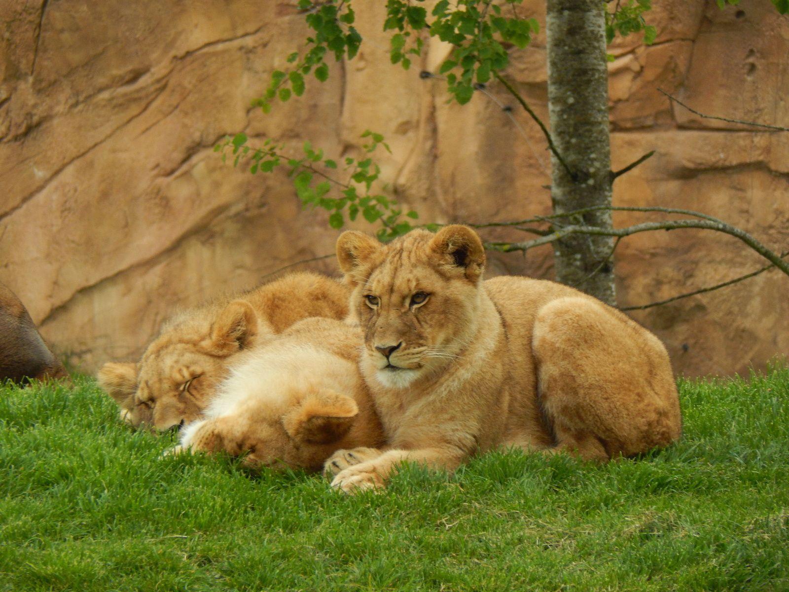 La Terre des Lions