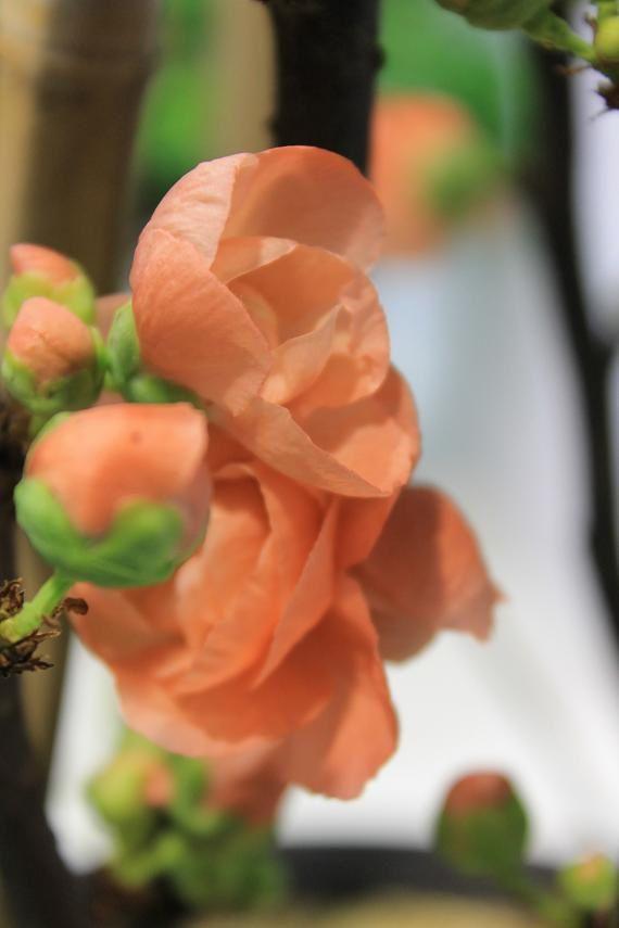 Cognassier du Japon Mango une touche de douceur pour débuter le printemps