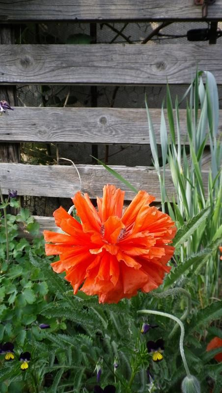 "Papaver ""Fireball"""