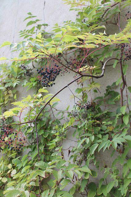 Vigne vierge à très grande feuille une curiosité gourmande