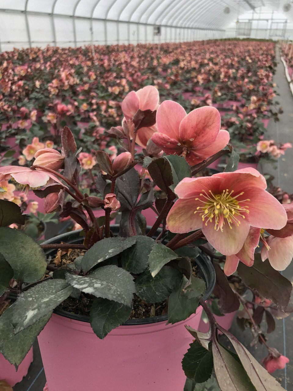 Hellebore Pink Frost