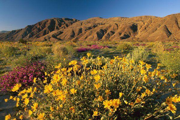 Californie : Après les pluies les déserts fleurissent