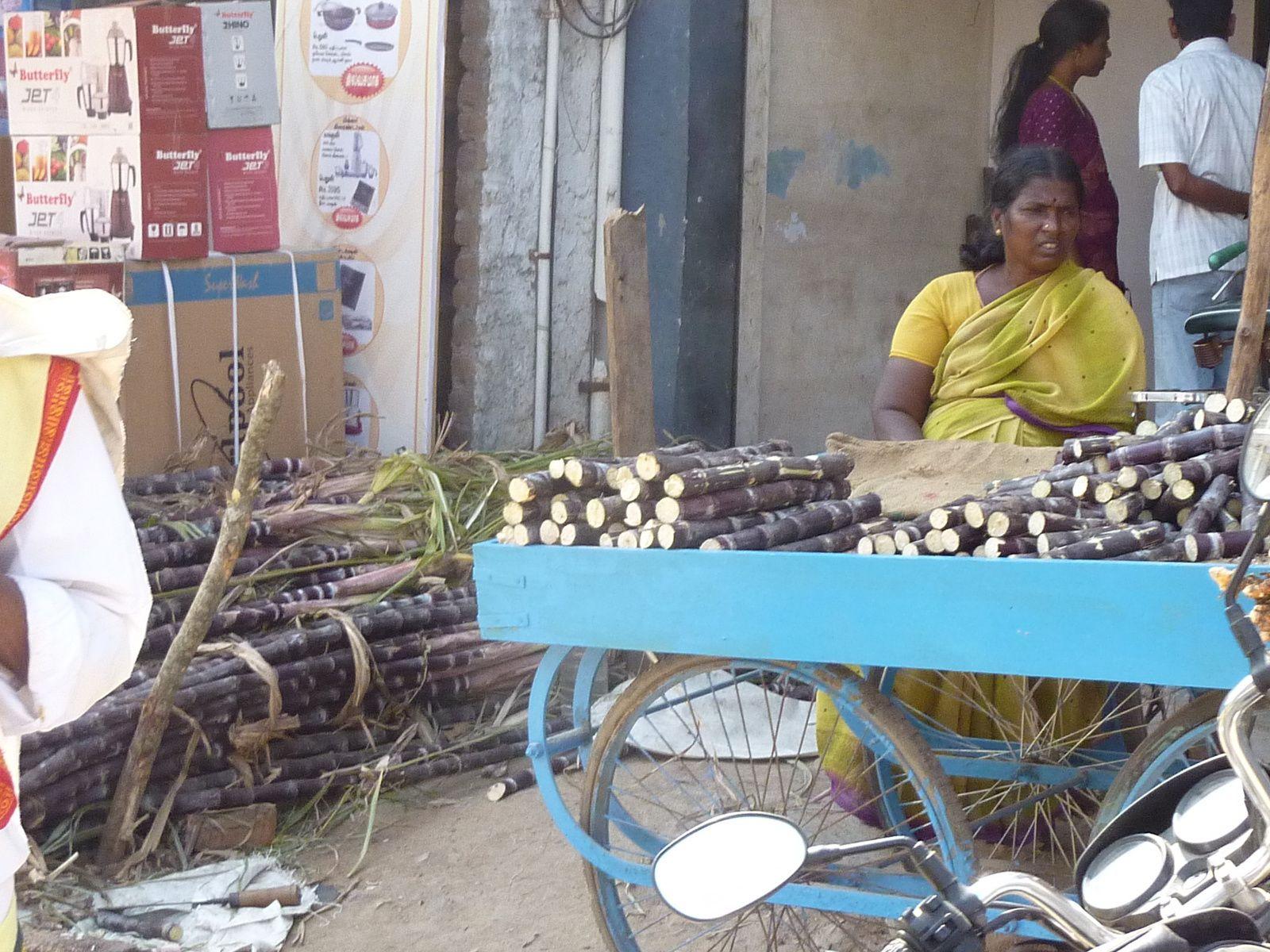 Pongal, la canne à sucre est le symbole de cette fête dans le Tamil Nadu. Campagne entre Pondichéry et Bangalore, veille de Pongal, 14 janvier 2011