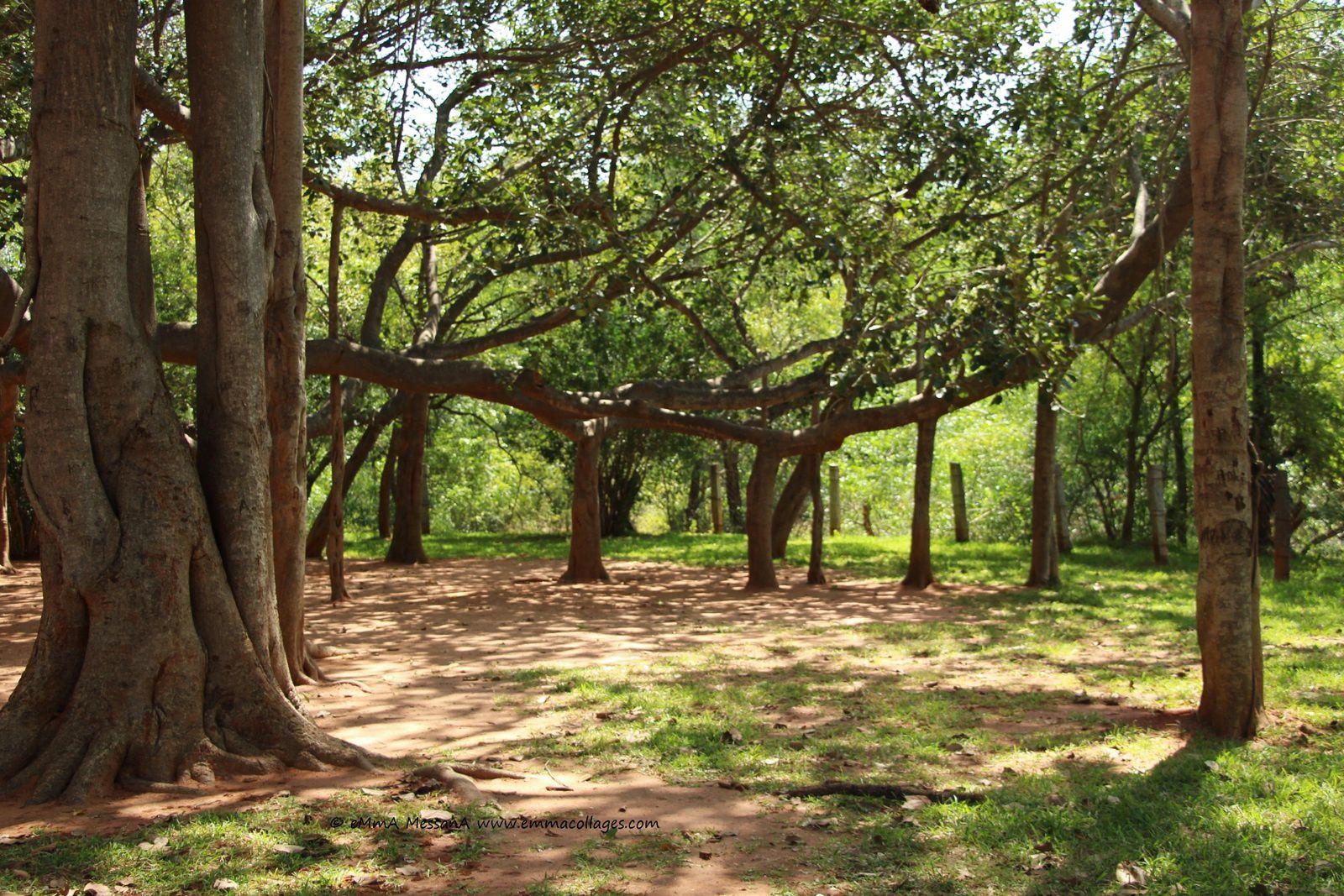 Etrange arbre aux racines porteuses, le banian. Auroville (Tamil Nadu), février 2017