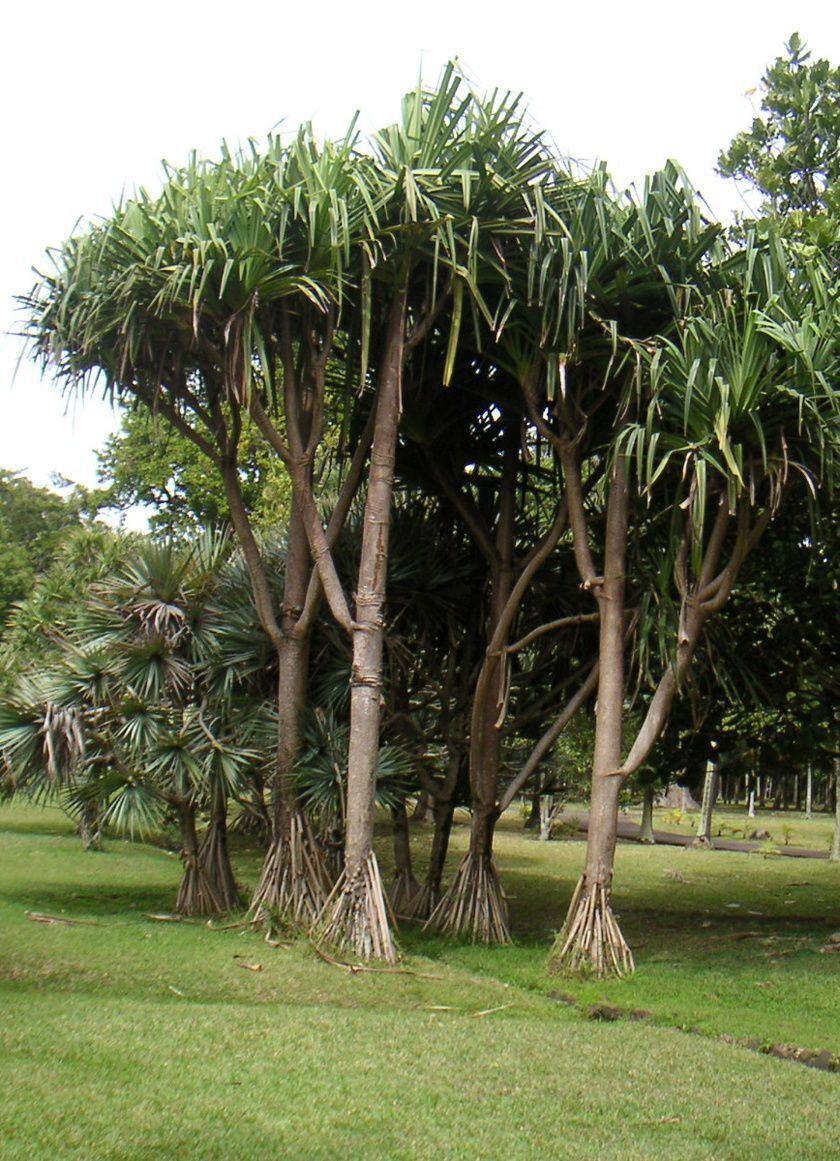 Palmiers - Jardin botanique de Pamplemousse