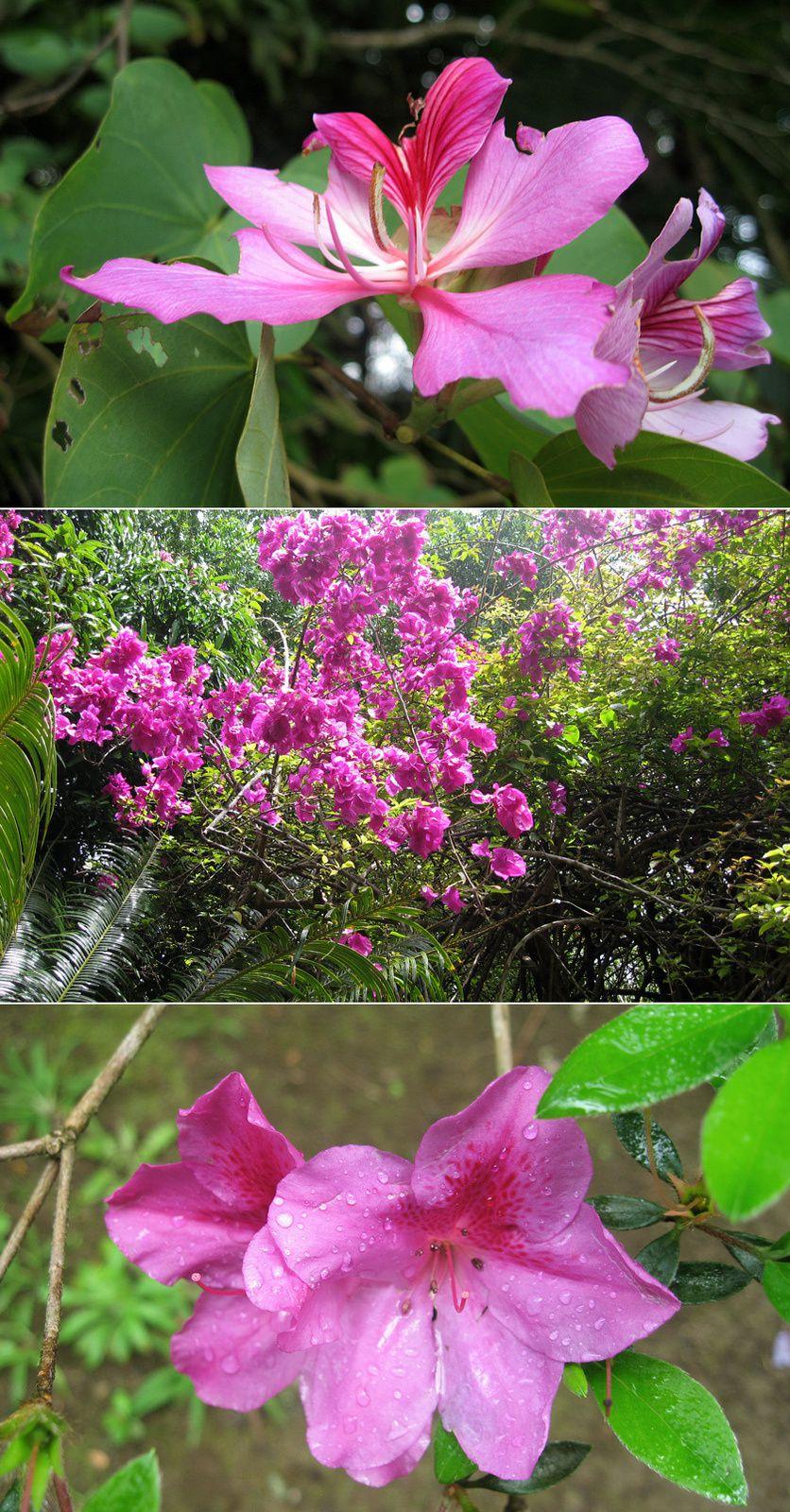 Fleurs - flamboyant, bougainvillier, hibiscus