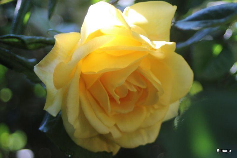 Sa Majesté la Rose