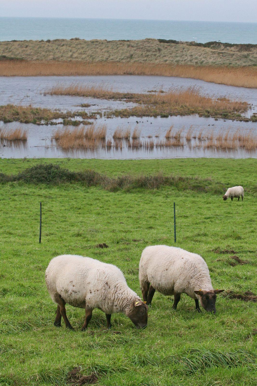 Moutons du Cotentin